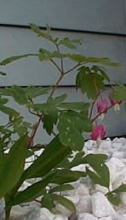 bleeding hearts in bloom